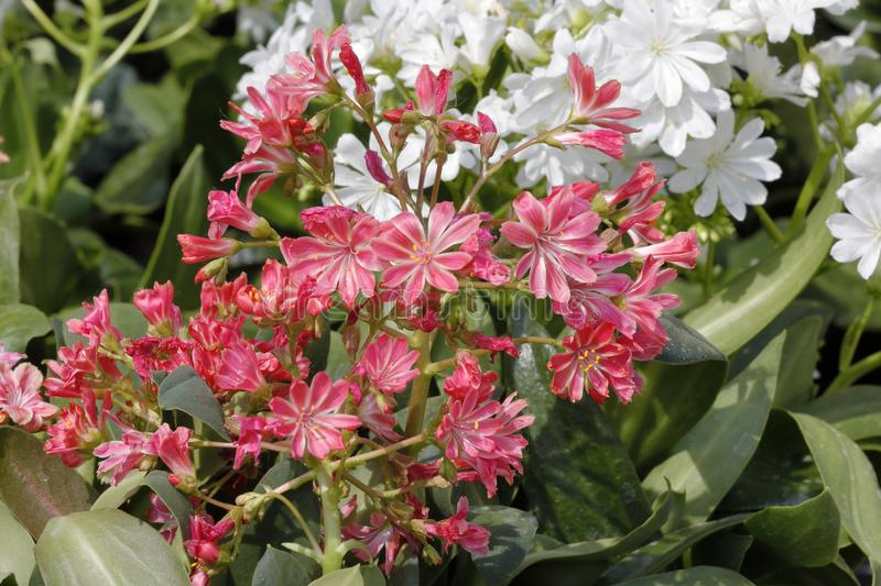 Orange lewisia flowers stock photos