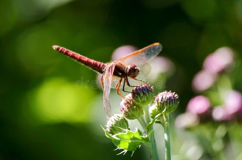 Orange Libelle auf Distelblumen lizenzfreie stockbilder