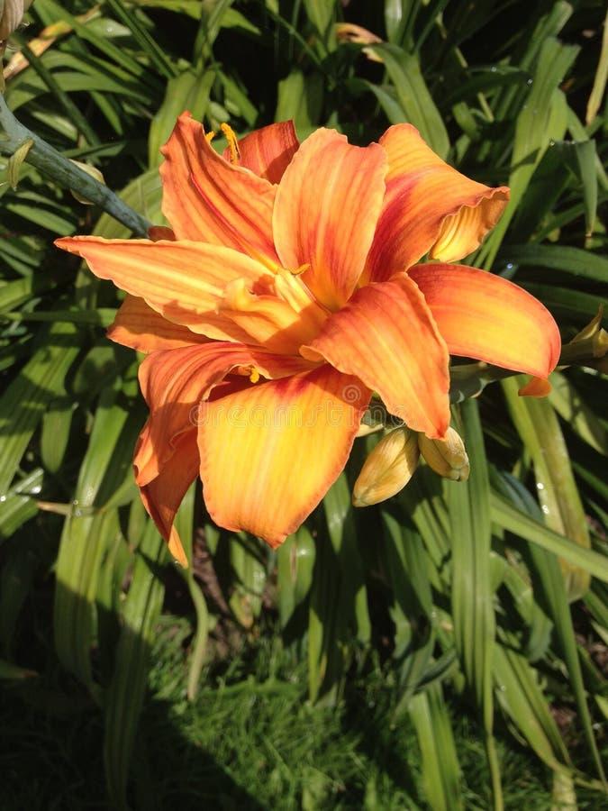 Orange Lilie stockfotos