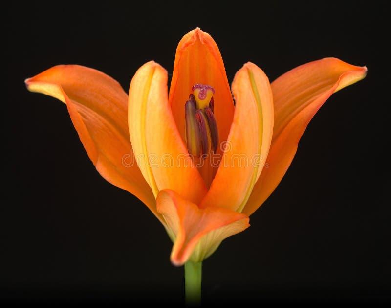 Orange Lilie 2 stockfotografie
