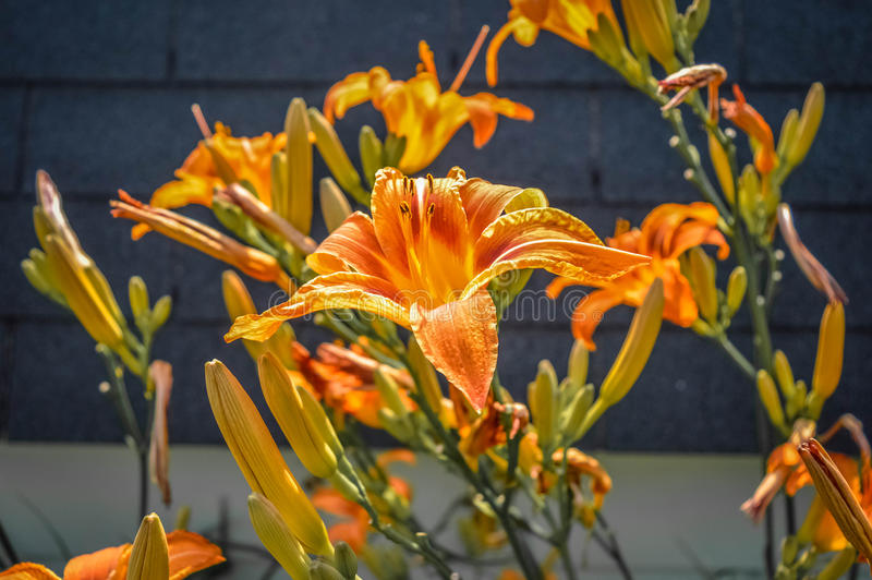 Orange Lilie in Kanada stockbild