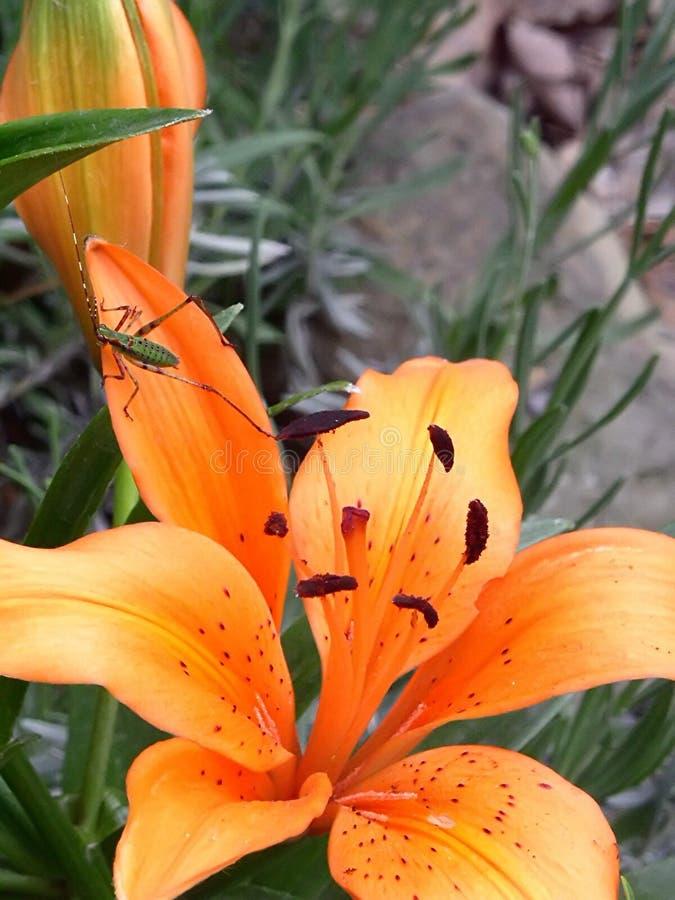 Orange Lilien lizenzfreie stockfotos