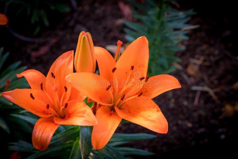 Orange Lilienblumen lizenzfreie stockbilder
