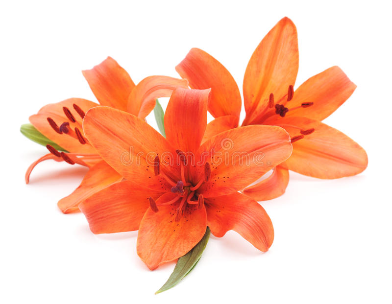 Orange lilies. royalty free stock photo