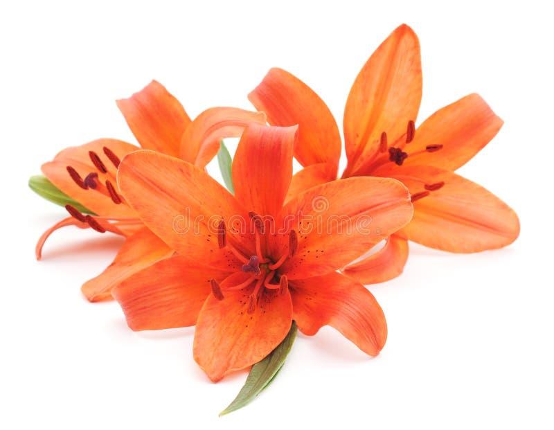 orange liljar royaltyfri foto