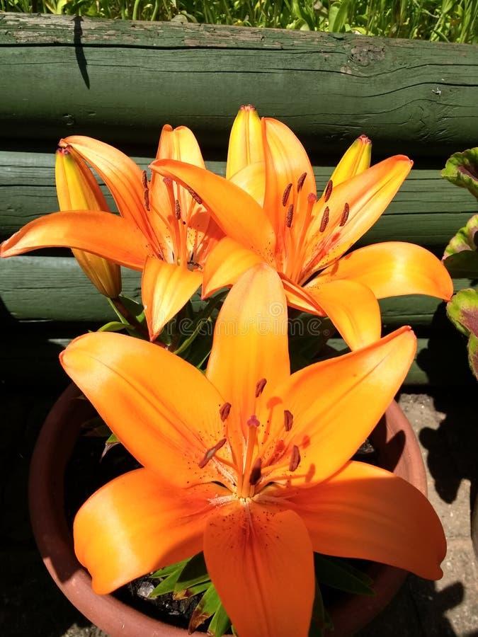 orange liljar arkivfoton