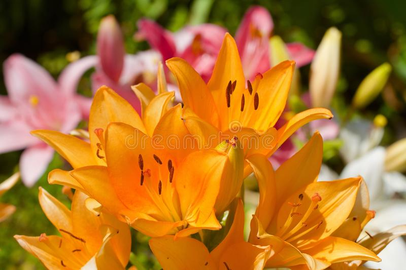 Orange Lilly stock images