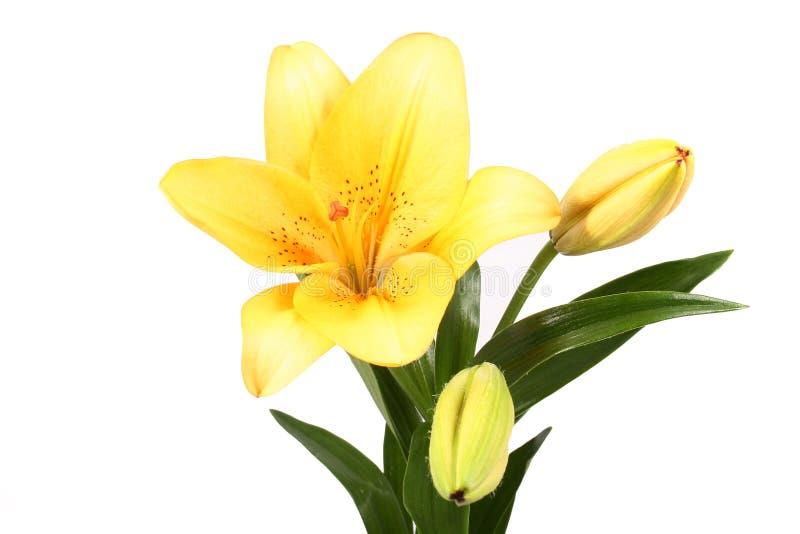 Orange lilly flower on white b royalty free stock photo