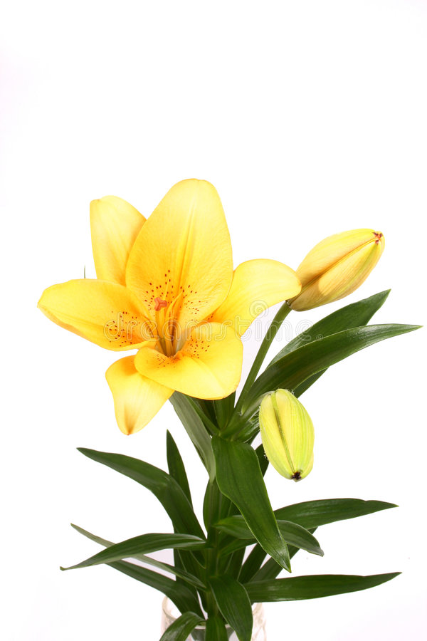 Orange lilly flower on white b. Ackground stock image