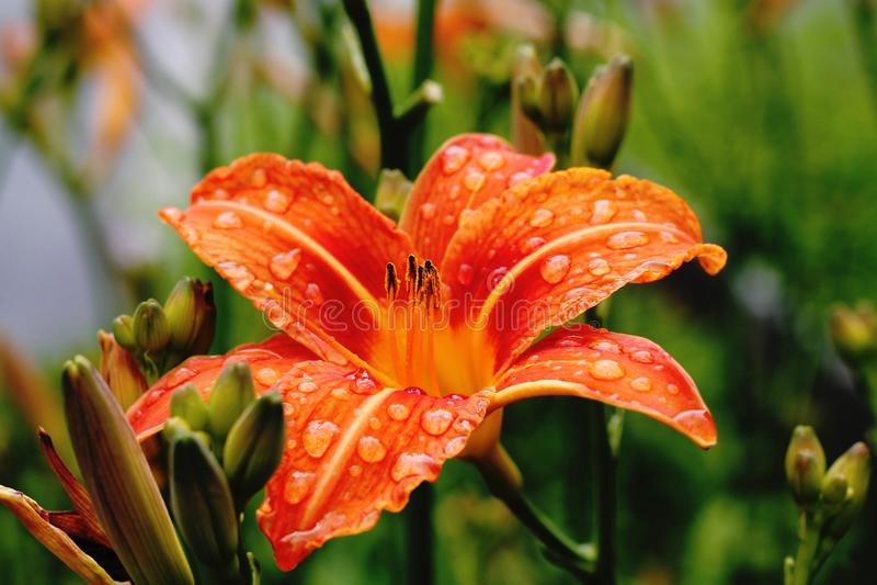 Orange lily royalty free stock photography
