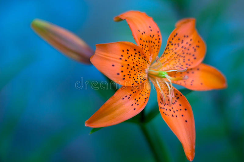 Orange lily against blurry blue background royalty free stock photos