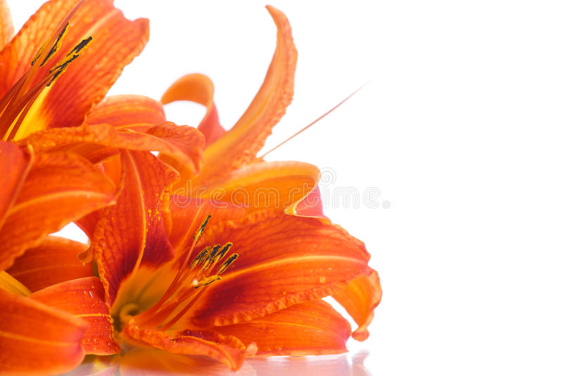 Orange lily royalty free stock photos