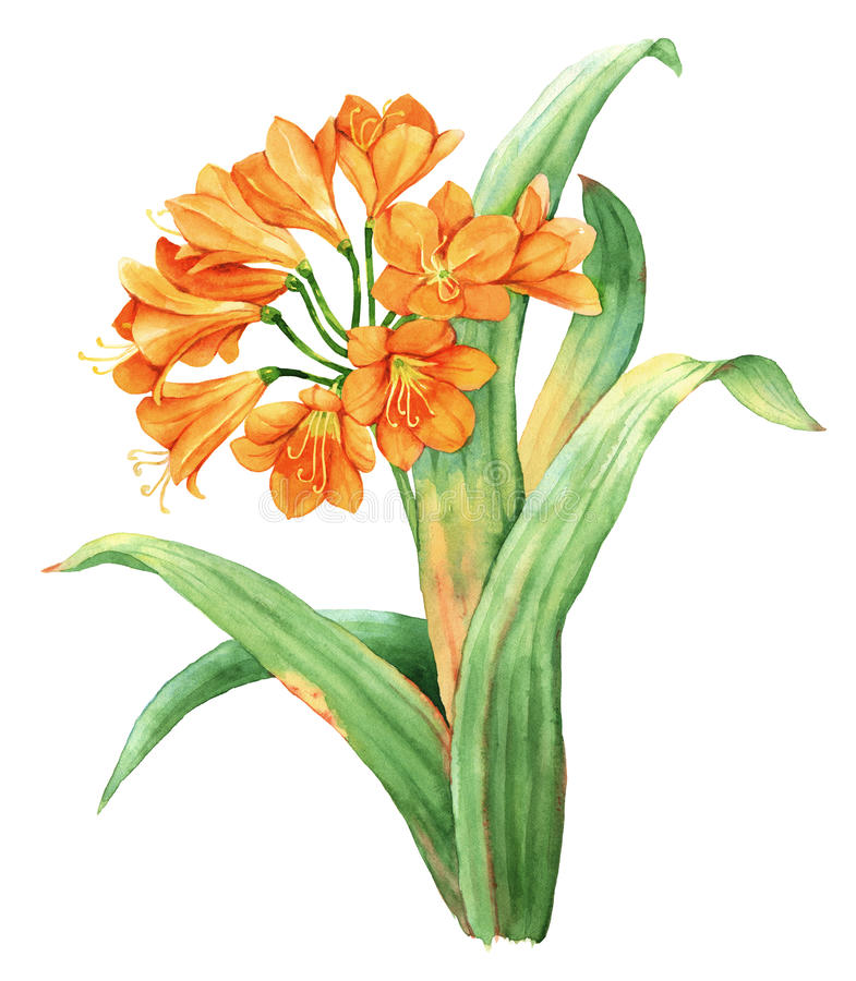 Download Orange Lily Botanical Illustration Stock