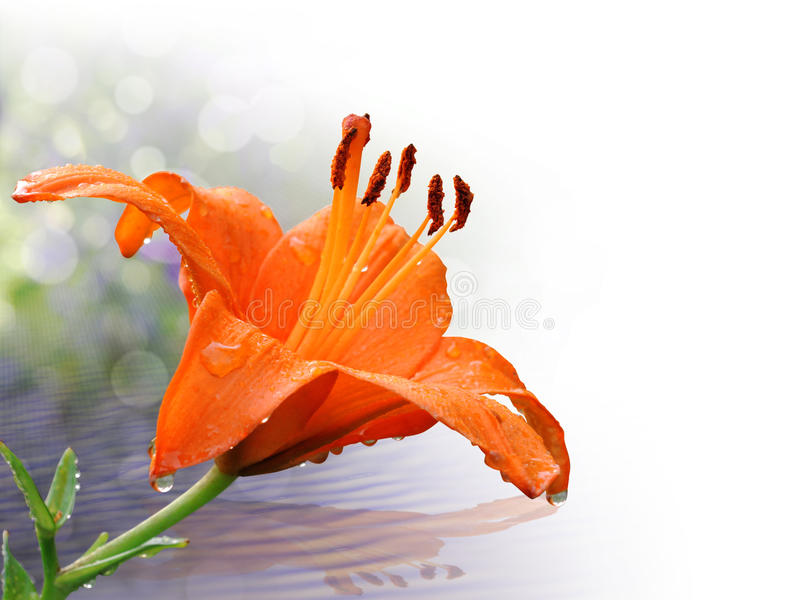 Orange lily in close-up with water drops. Isolated on white, with shadow reflected on the water royalty free stock image