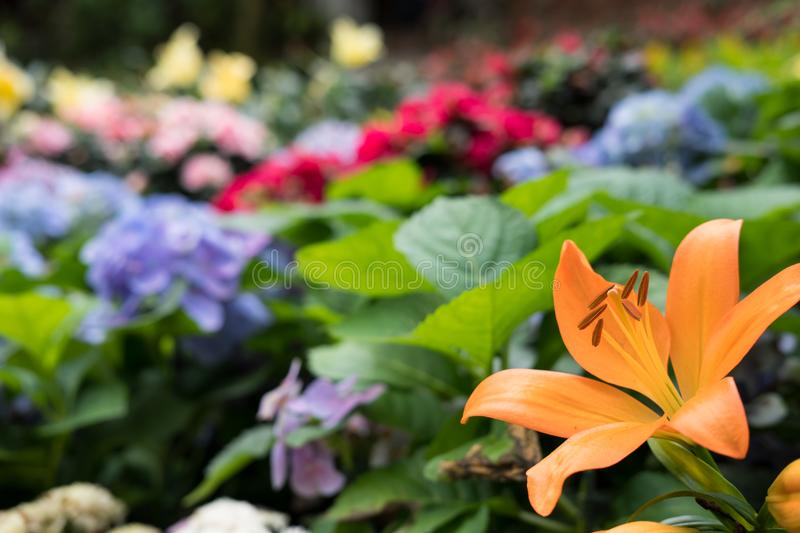 Orange lily flower in garden. blooming flora. flowerbed in park. Blossom in spring stock images