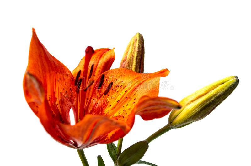 Orange lily flower on white background. Close up stock images