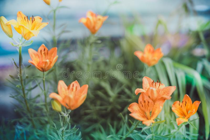Orange lily flowers grow in the summer garden royalty free stock photography