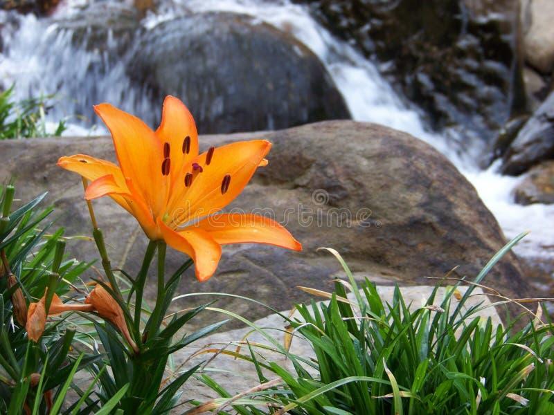 Orange Lily next to a stream royalty free stock image