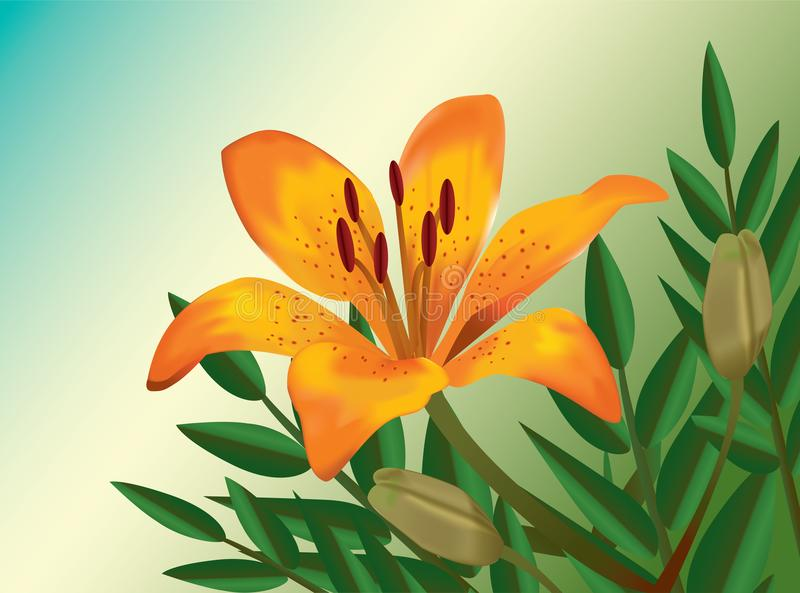 Orange lily realistic flower illustration royalty free stock photography