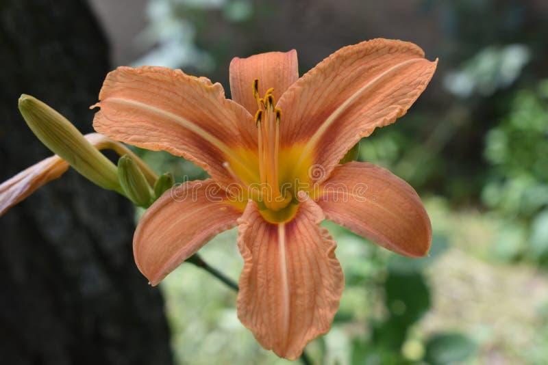 Orange Lily Wallpaper royaltyfria foton