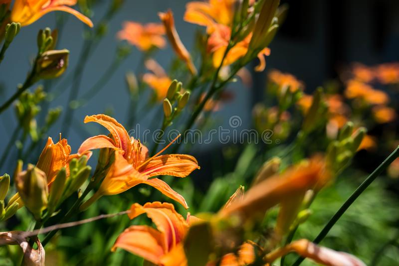 Orange lilys  Lilium Bulbiferum trying to reach the sun royalty free stock images