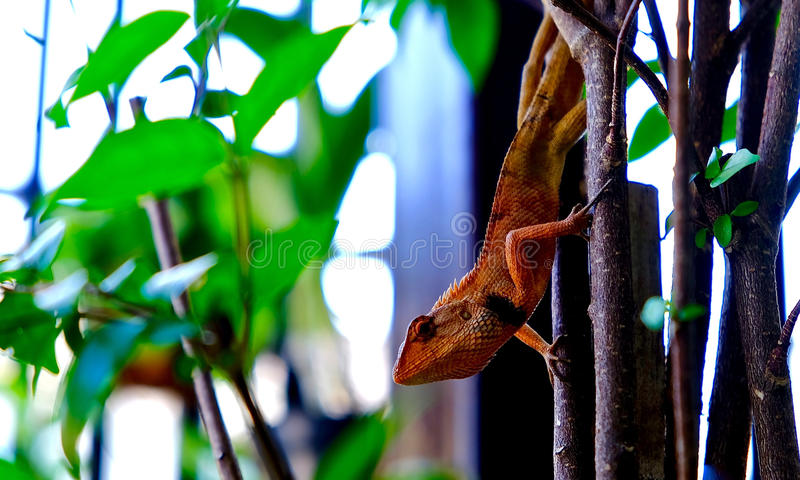 Orange lizard on the tree. Lizard hold on the tree in the garden royalty free stock photo