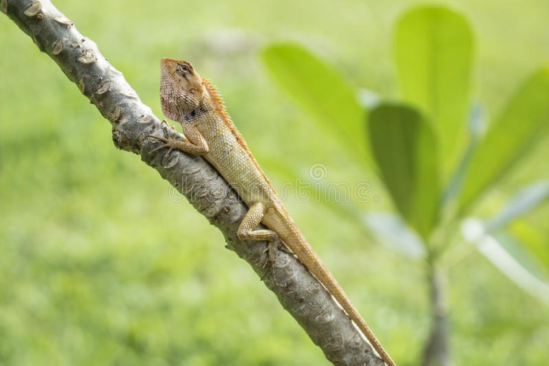 Orange lizzard on a tree, Koh Mook, Thailand. Angry orange lizzard in the sun on a tree with leaves and grass in the background, Koh Mook, Thailand royalty free stock images