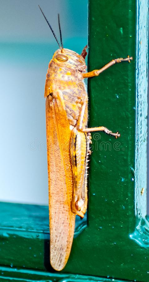 An orange locust sits on a fence.  royalty free stock images