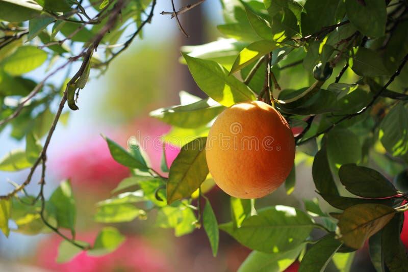 Orange mûre sur un plan rapproché d'arbre image libre de droits