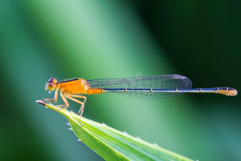Orange Maid fliegt auf grünes Blatt lizenzfreie stockfotografie