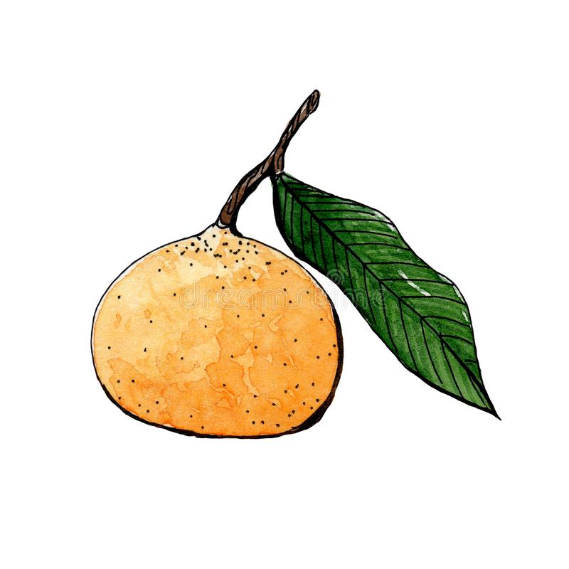 Orange mandarin with green leaf sketch watercolor. side view royalty free illustration