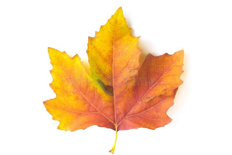 Orange maple leaf royalty free stock photo