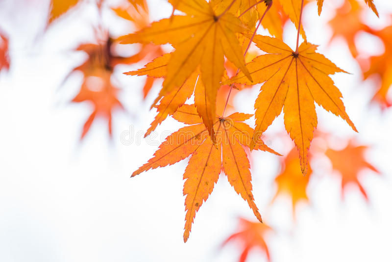 Orange maple leaf and branch. stock photography