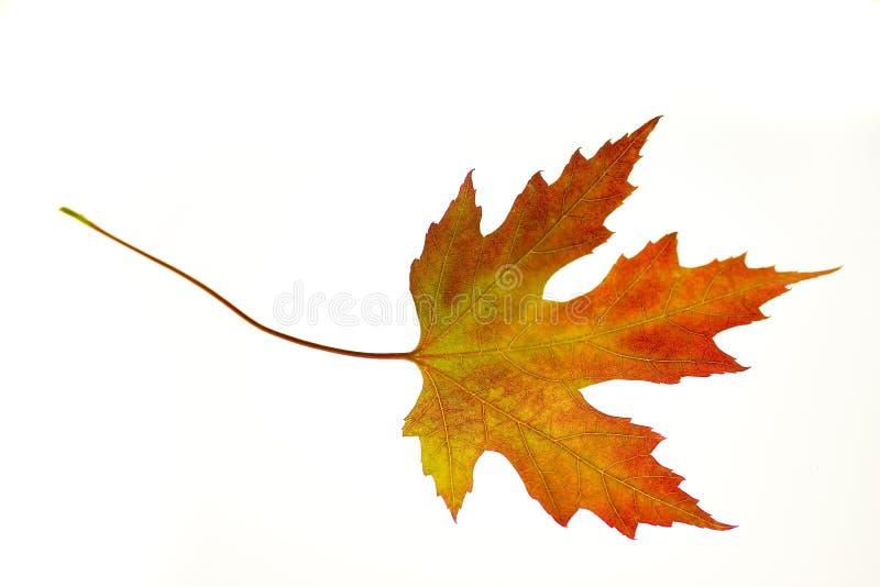 Orange Maple Leaf on White royalty free stock photo