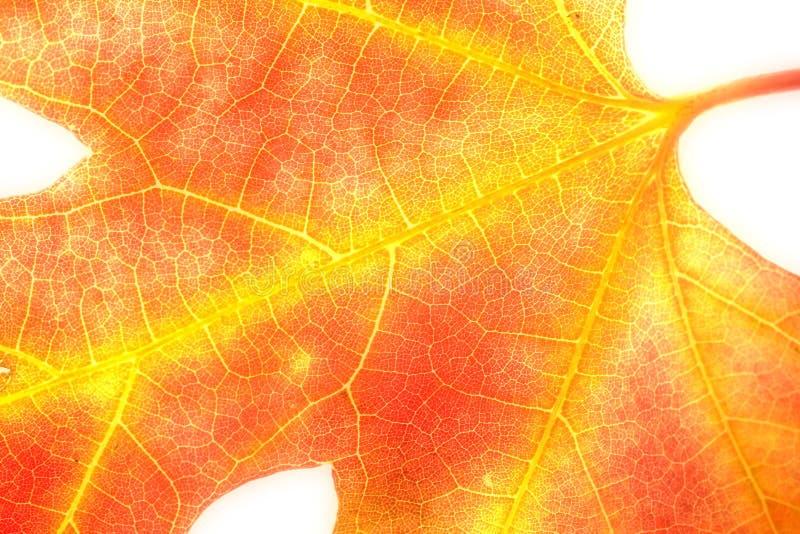 Orange Maple Leaf on White