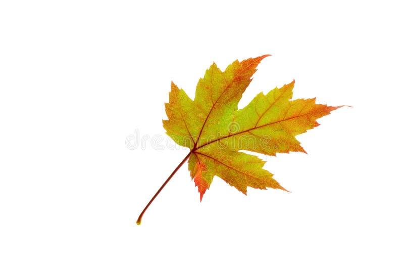 Orange Maple Leaf on White stock image