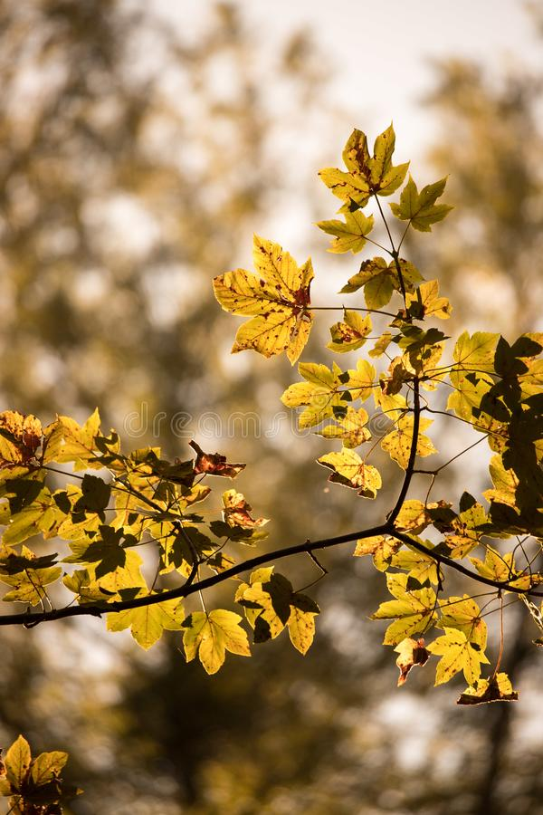 Orange maple leaves in a forest in Austria, autumn sun royalty free stock image