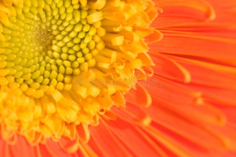 Orange marguerite. The close up view of orange marguerite royalty free stock photo