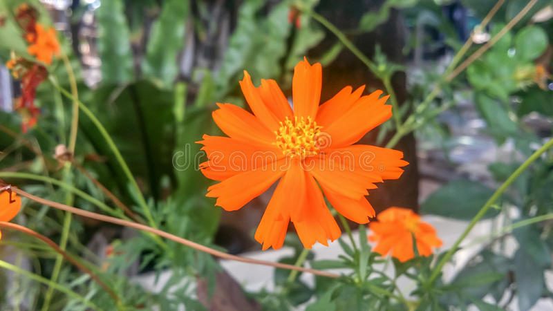 Orange marigold flower royalty free stock photography