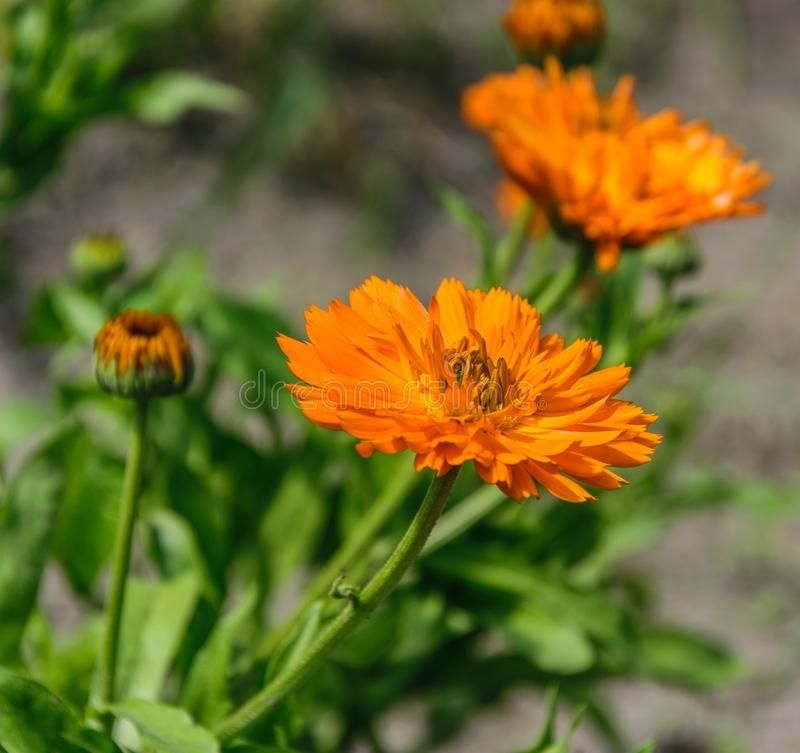 Orange Marigold flower shot from the side in bright sunshine. royalty free stock photography