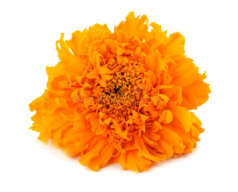 Orange Marigold flower, Tagetes erecta, Mexican marigold, Aztec marigold, African marigold isolated on white background royalty free stock photo
