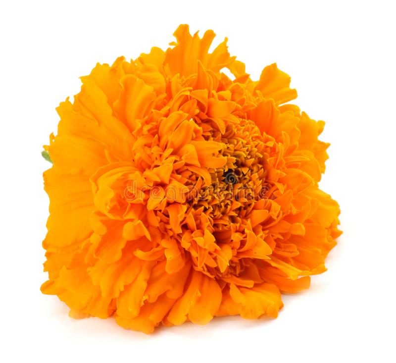 Orange Marigold flower, Tagetes erecta, Mexican marigold, Aztec marigold, African marigold isolated on white background royalty free stock image