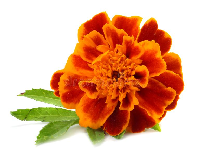 Orange Marigold flower, Tagetes erecta, Mexican marigold, Aztec marigold, African marigold isolated on white background stock photos