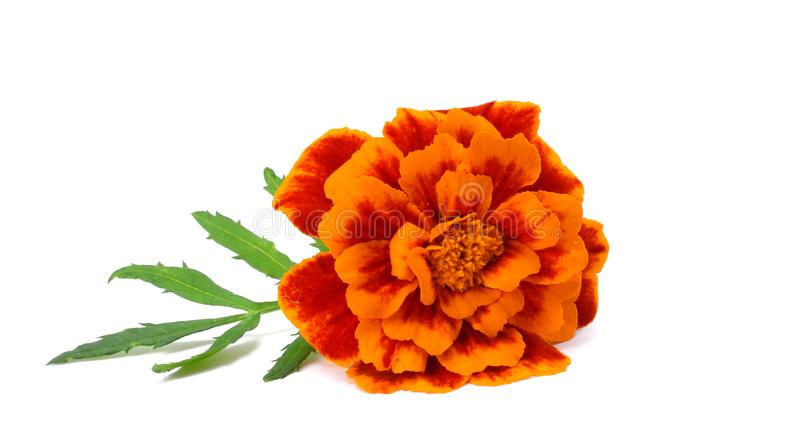 Orange Marigold flower, Tagetes erecta, Mexican marigold, Aztec marigold, African marigold isolated on white background royalty free stock photos