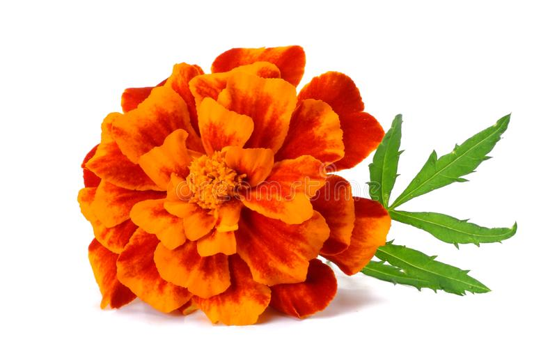 Orange Marigold flower, Tagetes erecta, Mexican marigold, Aztec marigold, African marigold isolated on white background stock photo