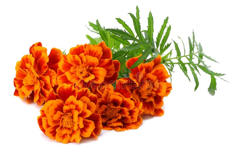 Orange Marigold flower Tagetes erecta, Mexican marigold, Aztec marigold, African marigold Tagetes erecta flower isolated stock photos