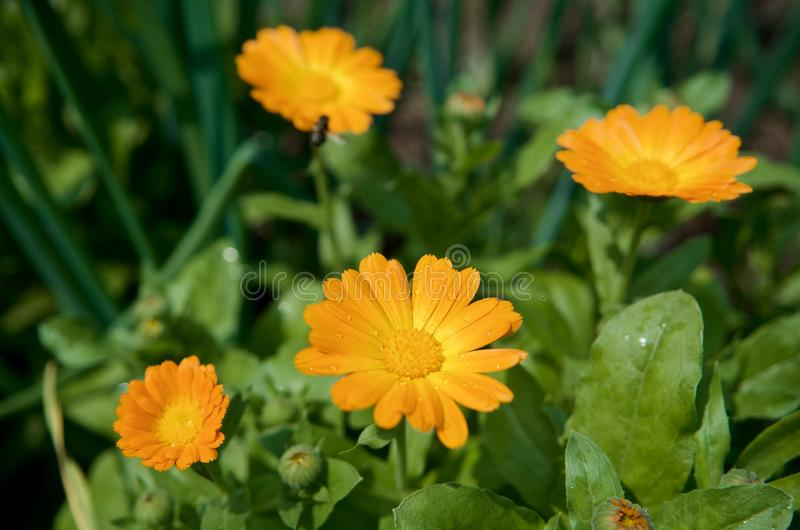 Orange marigold flowers with a blurred background of green grass stock photography