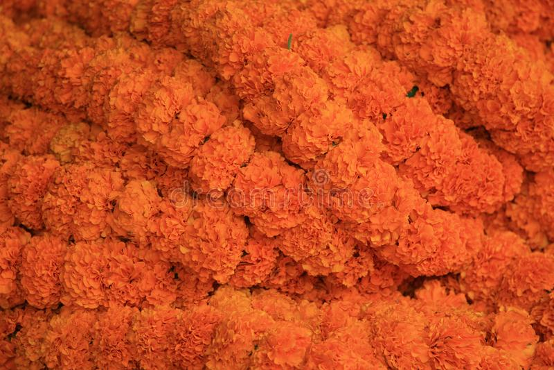 Orange marigold garland. Orange marigolds used to make garlands for the Kolkata temples royalty free stock photography