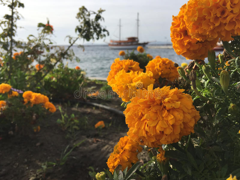 Orange Marigold in Neos Marmaras. Orange Marigold plant with the harbour at the background in Neos Marmaras Greece stock photo
