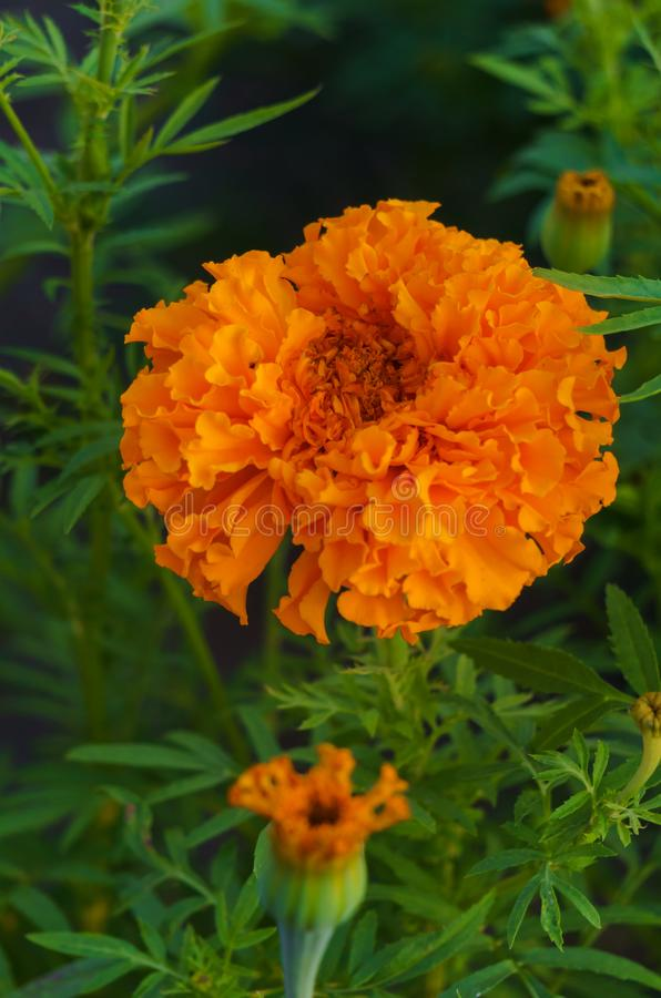Orange marigolds bloomed in a flowerbed in a city park.  royalty free stock images
